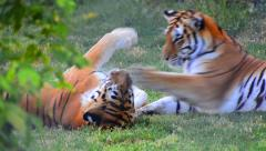 Tigers fight game play Stock Footage