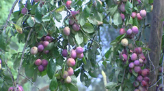 European plum tree with fruit, branch Stock Footage