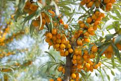 Branches of seabuckthorn - stock photo