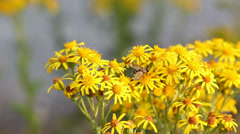 Hoverfly collecting nectar from yellow ragwort flowers then flying away. Stock Footage
