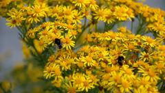 Two bees collecting nectar from yellow ragwort flowers. Stock Footage