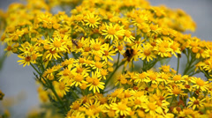 Hoverfly and bee collecting nectar from yellow ragwort flowers. Stock Footage