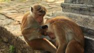 Stock Video Footage of Monkeys Care