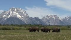 BISON AND THE TETON MOUNTAINS Stock Footage