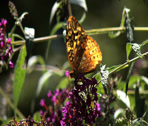 Stock Video Footage of The butterfly bush