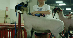 Sheep Shave Stock Footage