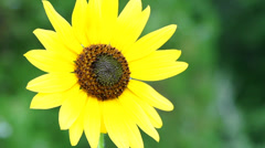 Sunflower and bug super slow motion - stock footage