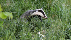 Badger Stock Footage