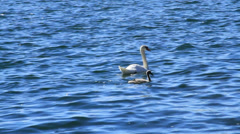 Swan and baby Stock Footage