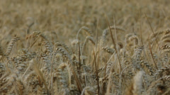 Covered Barley Grains in a Barley Field Pan Left - 29,97FPS NTSC Stock Footage