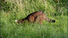 Scottish Wildcat Stock Footage