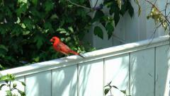 Cardinal bird hops along fence - stock footage