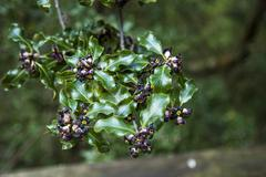 Black flowers on cies islands, galicia Stock Photos