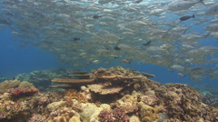 Huge school of silver fish over coral reef Stock Footage
