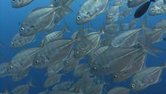 Close up of silver fish school swimming past viewer Stock Footage