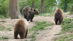 Wild scenery with three brown bear in green wood Stock Footage