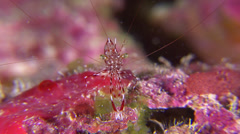 Red shrimp looks at camera - stock footage