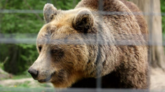Big brown bear behind the zoo fence look and walk Stock Footage