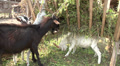 goat eating grass on the farm 1 HD Footage