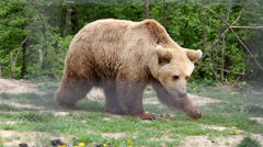 Stock Video Footage of Brown bear captivate stepping in zoo park