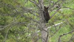 BLACK BEAR CUB MOVES DOWN TREE Stock Footage