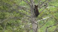 Stock Video Footage of BLACK BEAR CUB MOVES DOWN TREE