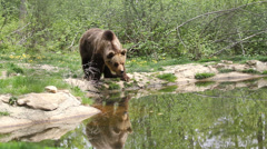 Grandiose brown bear in a green forest reflect on lake water drinking water Stock Footage