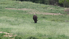One single donkey feeding on green plain Stock Footage