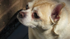 Scent of a Chihuahua Dog Stock Footage