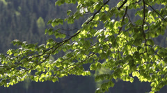 Bright spring green branch and conifer forest in background Stock Footage