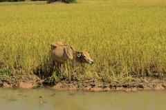 cow by the river - livestock - countryside of Cambodia - stock photo