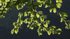 Green spring tree branch in the spring breeze with a dark bakground Stock Footage