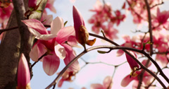 Magnolia Pedals in the Spring - stock footage