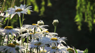 Stock Video Footage of Daisy Flowers On Forest Lake  5 - Close Up - Loop