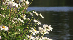 Daisy Flowers On Forest Lake 3 - Close Up Stock Footage