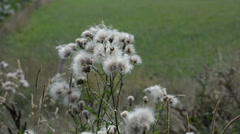 Wind blows the seeds of plants Stock Footage