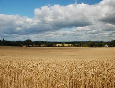 clouds gathering over a wheat field - stock photo