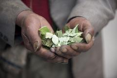 Hands with coca leaves lima peru Stock Photos