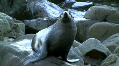 Seal - stock footage