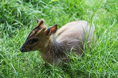 Young muntjac laying down Stock Photos