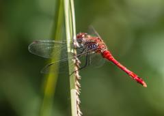 red veined darter - stock photo