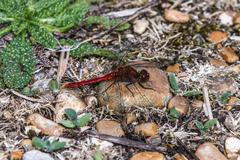 Red veined darter Stock Photos