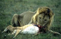 Lion eating a prey masai mara kenia Stock Photos