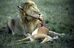 Lion eating an impala masai mara kenia Stock Photos