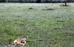 Cheetah and lions looking at one another masai mara kenia Stock Photos