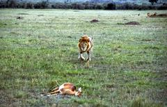 Lion stealing the prey masai mara kenia 9 Stock Photos