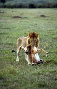 Lion and prey facing to the camera masai mara kenia Stock Photos