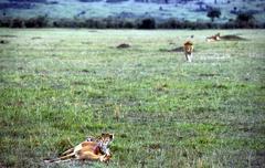 Lion and cheetah facing one at onather masai mara kenia Stock Photos