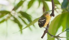 flapper striped tit-babbler in nature. - stock photo