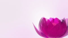 Beautiful Lotus Blossom - stock footage